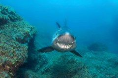 requin féroce